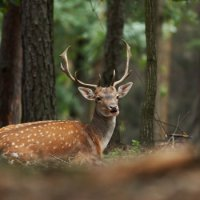 лесной олень песня минусовка